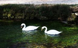 White Swans in the Lake royalty free stock photography