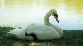 White swans on the lake stock footage