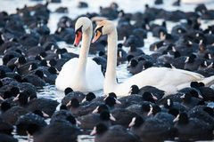 White swans on a lake, around many coots. Royalty Free Stock Images