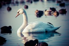 White swans on a lake, around many coots. Royalty Free Stock Image