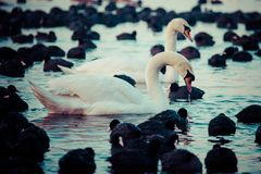 White swans on a lake, around many coots. Royalty Free Stock Photography