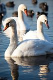White swans on a lake, around many coots. Royalty Free Stock Photos
