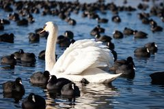 White swans on a lake, around many coots. Stock Image