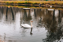 White swans on the lake. Autumn park, yellow leaves on the trees.  Stock Photography