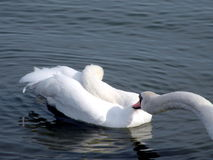 White swans Royalty Free Stock Photography