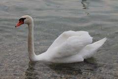 White swans on lake Garda Italy stock photo