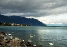 White swans on Lake Geneva, Switzerland Royalty Free Stock Photography