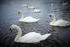 White swans on the lake in Lilinthgow, Scotland Royalty Free Stock Images