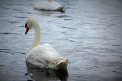 White swans on the lake in Lilinthgow, Scotland Stock Image