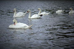 White swans on the lake in Lilinthgow, Scotland Stock Photography