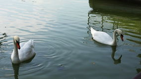 White swans on a lake stock footage