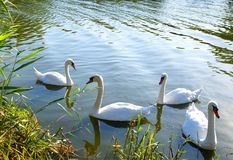 White swans on the lake Royalty Free Stock Photography