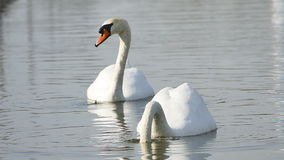 White swans on a lake. stock video footage