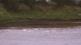 White swans on lake. A wide shot of white swan on a lake stock footage