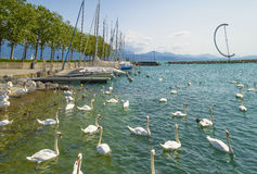 White swans in Lausanne, Switzerland in Ouchy port marina. Stock Photos