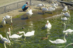 White swans in Lausanne, Switzerland in Ouchy port marina. Royalty Free Stock Photo