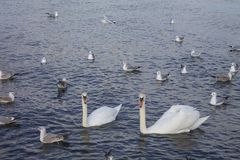 White swans in love. Among ducks float on the seate swans in love Royalty Free Stock Photos