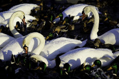 White Swans and Mallard Ducks. White Swans and ducks gather in a feeding frenzy by the icy shoreline on a cold winter's day Royalty Free Stock Image