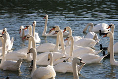 White swans and mallards floating on the crystal clear lake Stock Photos