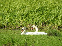 White swans  in meadow Stock Photos