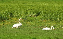 White swans  in meadow Stock Photography