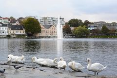 White swans near Breiavatnet lake. Stavanger. Rogaland county. Norway stock image