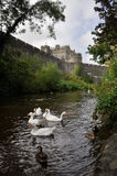White swans near Cahir castle, Ireland Stock Images