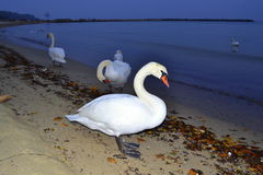 White swans at night beach stock photo