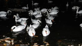 White swans at night. Background Stock Photos