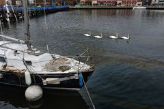 White swans and oil spill at the bay. BROOKLYN, NY - OCTOBER 29: Oil spill litters the Sheepshead bay neighborhood due to flooding from Hurricane Sandy in Royalty Free Stock Image