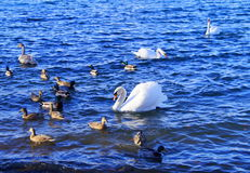 White swans and other birds on lake. Hungry swan because of the winter in austria, styria Royalty Free Stock Images