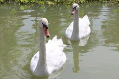 White swans Stock Image