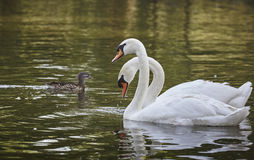 White swans pair Royalty Free Stock Image