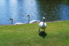 White swans in the park in Leeds Castle Royalty Free Stock Images