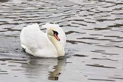 White Swans. Pond in the Moscow zoo Royalty Free Stock Photos