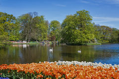 White swans in the pond of the park Royalty Free Stock Photography