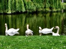 White Swans on the Pond. In the park near the grassy shore. Weeping willow trees Royalty Free Stock Photos