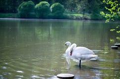 White swans on a pond. Stock Photos