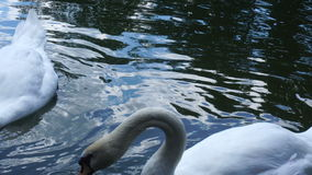 White swans on the pond stock footage