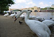 White swans in Prague Stock Photos