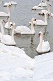 White swans on the river Royalty Free Stock Photography