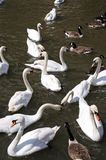 White swans on the River Avon. Stock Image