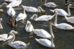 White swans on the River Avon. Royalty Free Stock Image