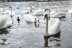 White swans in the river Stock Photography