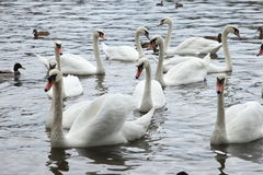 White swans in the river Royalty Free Stock Images
