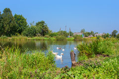 White swans on the river Stock Photos