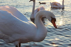 White swans on river near the city center. Royalty Free Stock Photo
