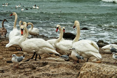 White Swans On Rocky Seashore Stock Photo