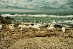 White Swans On Rocky Seashore Stock Photography