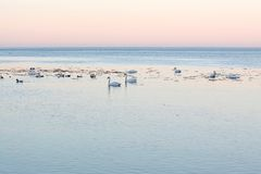 White swans by the sea in the evening light Royalty Free Stock Photos
